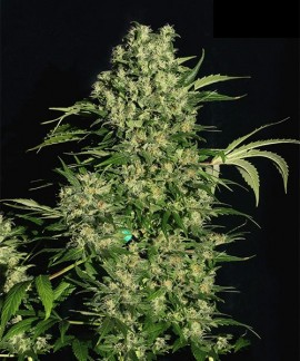comprar Chronic Regular de Serious Seeds