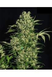 Chronic Regular de Serious Seeds
