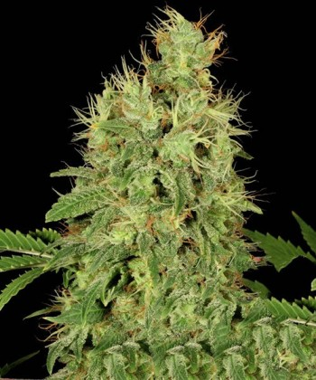 Comprar Chronic CBD de Serious Seeds
