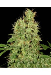 Chronic CBD de Serious Seeds