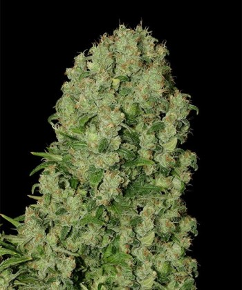 Comprar White Russian de Serious Seeds