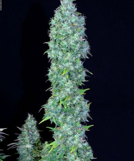 comprar Serious Happiness de Serious Seeds