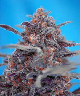 comprar Devil Cream Auto de Sweet Seeds