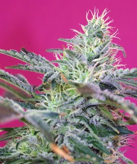 comprar Sweet Cheese Auto de Sweet Seeds