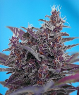 comprar Black Cream Auto de Sweet Seeds