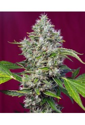 San Fernando Lemon Kush de Sweet Seeds