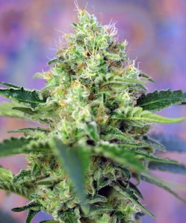 comprar Crystal Candy de Sweet Seeds