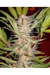 S.A.D. Sweet Afgani Delicious S1 de Sweet Seeds