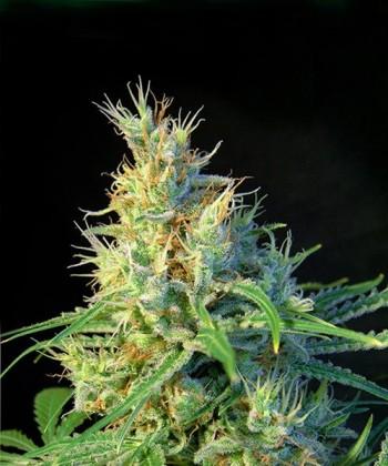 Comprar Psicodelicia de Sweet Seeds