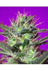 Botafumeiros de Sweet Seeds