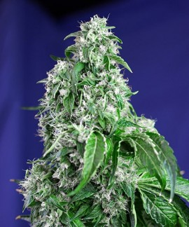 comprar Big Devil F1 Fast Version de Sweet Seeds