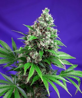 comprar Killer Kush F1 Fast Version de Sweet Seeds