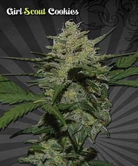 comprar Girl Scout Cookies Auto Seeds