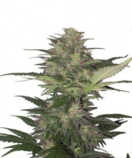 Red Dwarf Auto de Buddha Seeds