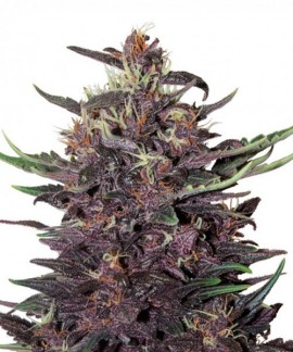 Purple Kush Auto de Buddha Seeds (Blister)