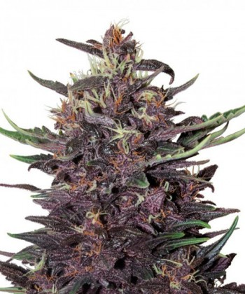 Comprar Purple Kush Auto de Buddha Seeds