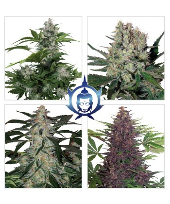 Comprar Assorted Auto de Budda Seeds