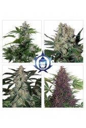 Assorted Auto de Budda Seeds