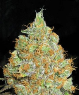 comprar Critical Mass de Bulk Seed Bank