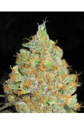 Critical Mass de Bulk Seed Bank