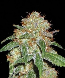 comprar Dark Domina de Bulk Seed Bank