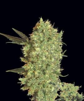 comprar Marley'S Bud de Bulk Seed Bank