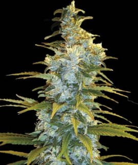 comprar Northern Light de Bulk Seed Bank