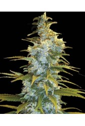 Northern Light de Bulk Seed Bank