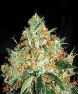 Original Orange Bud de Bulk Seed Bank