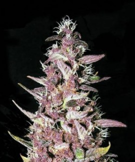 comprar Purple Glam Kush de Bulk Seed Bank