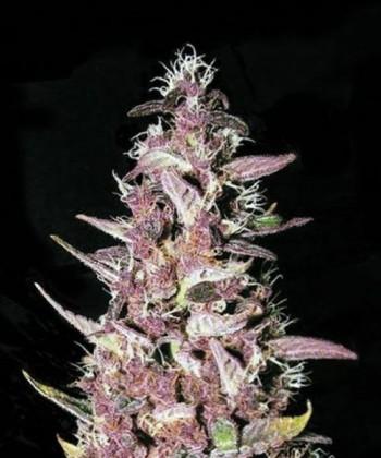 Comprar Purple Glam Kush de Bulk Seed Bank
