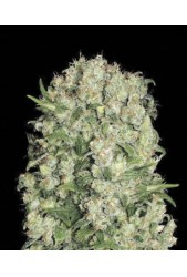 White Prussian de Bulk Seed Bank
