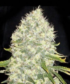 comprar White Widow de Bulk Seed Bank