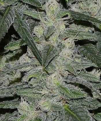 Comprar Nepal Jam de Cannabinogen Seeds Regulares