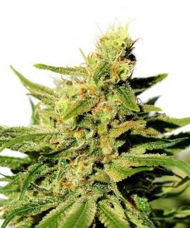 comprar BCN Diesel CBD de Kannabia Seed Company