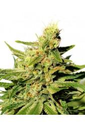 BCN Diesel CBD de Kannabia Seed Company