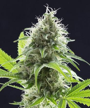 Comprar Kama Kush CBD de Kannabia Seed Company