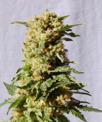 Comprar La Blanca de Kannabia Seed Company