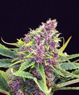 comprar Purple Kush de Kannabia Seed Company