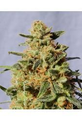 White Domina de Kannabia Seed Company