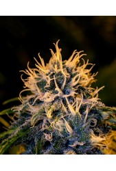 Black Widow CBD de Positronics