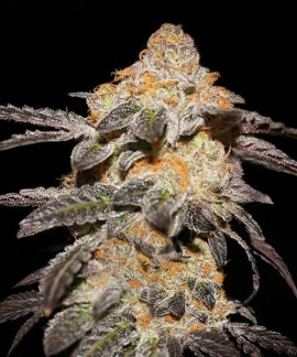 comprar French Cookies de TH Seeds