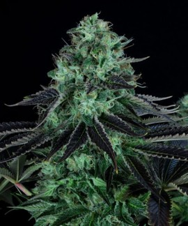 comprar Darkstar de TH Seeds