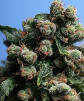 comprar S.A.G.E 'n Sour de TH Seeds