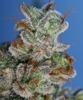comprar Burmese Kush de TH Seeds