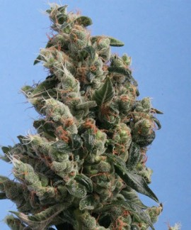 comprar Kushage de TH Seeds