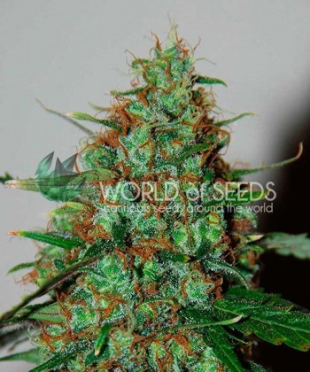 Comprar Wild Thailand Ryder Auto de World of Seeds