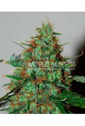 Wild Thailand Ryder Auto de World of Seeds