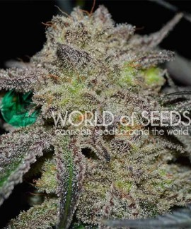 comprar Tonic Ryder Auto de World of Seeds