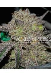 Tonic Ryder Auto de World of Seeds